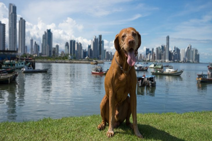 dog with tongue out in front of panama city skyline and water